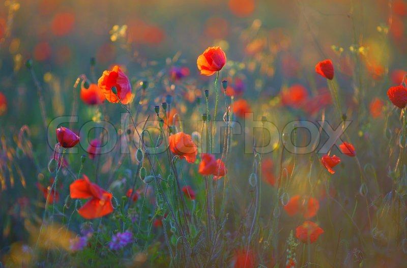 Poppy flowers, stock photo