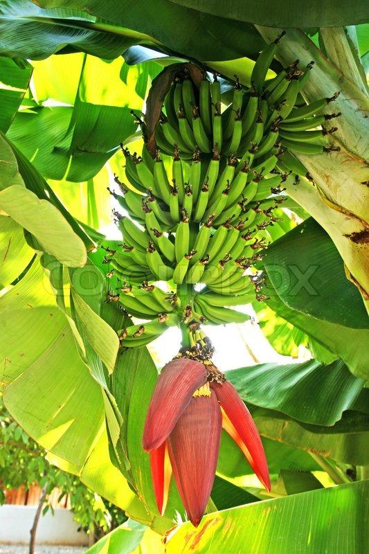 Banana Tree Stock Photo Colourbox