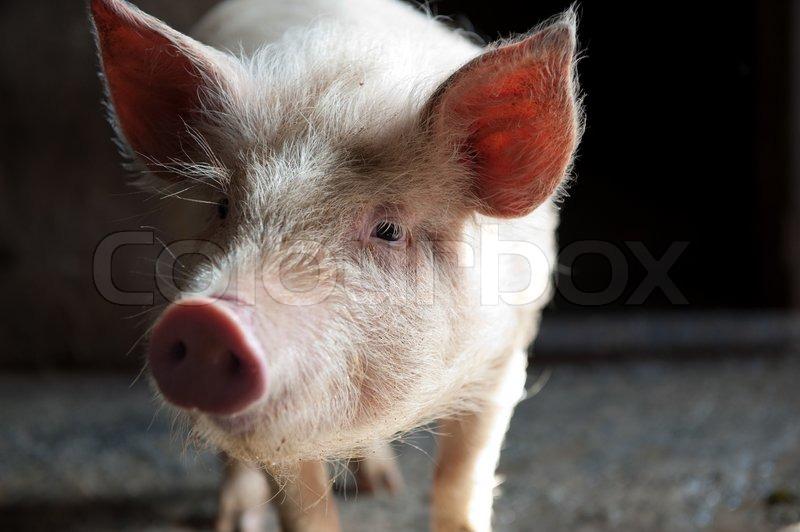 Schwein Gesicht