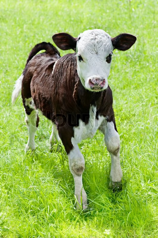 Farm Animal Little Calf Playing On Meadow Stock Photo