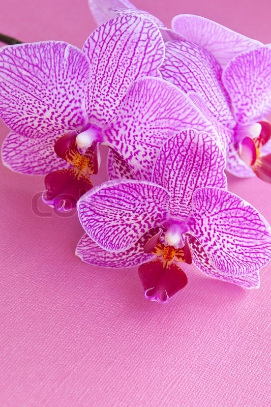 Pink orchids on pink textured paper, stock photo