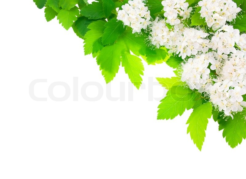 White flowers angular horizontal frame | Stock Photo | Colourbox