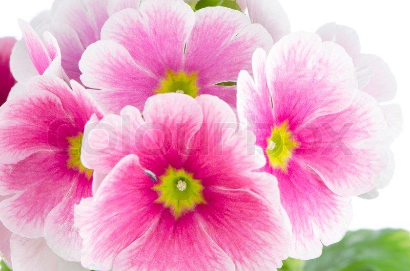 Closeup of pink primrose flowers stock photo colourbox mightylinksfo