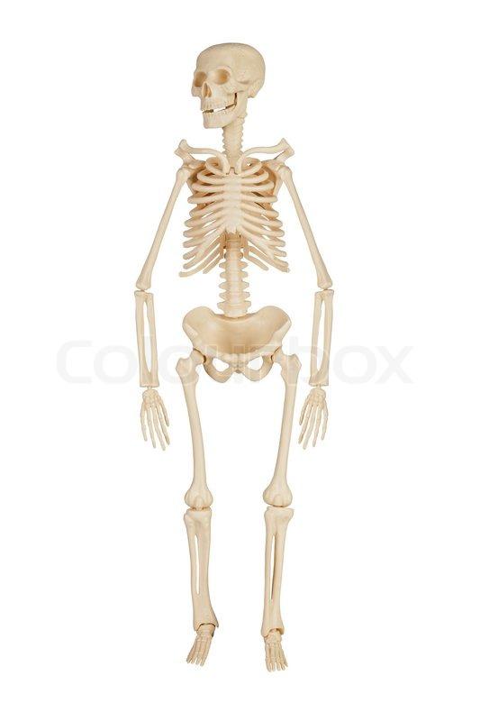 Das menschliche Skelett | Stockfoto | Colourbox