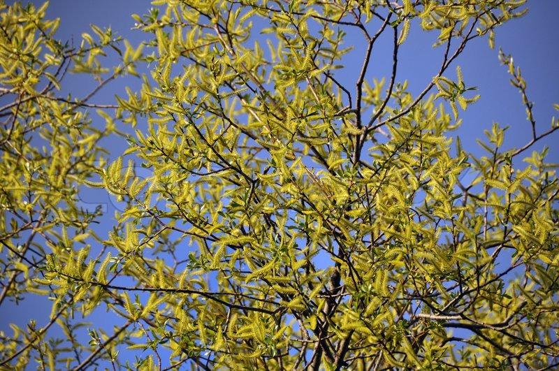 willow blossom stock photo colourbox
