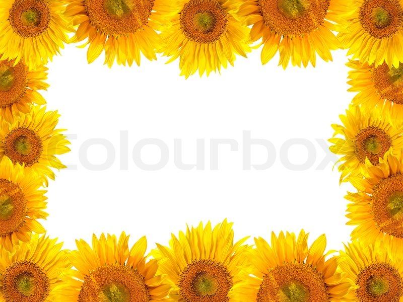 Sunflowers frame | Stock Photo | Colourbox