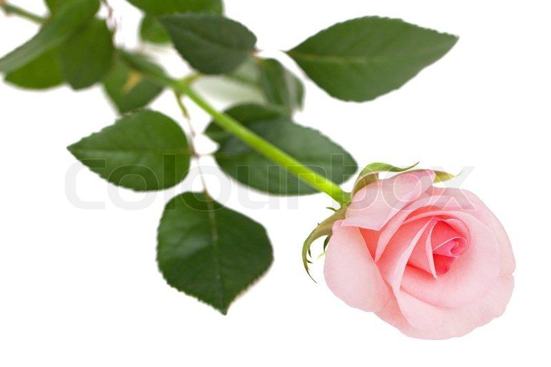 Elegant Sweet Fresh Pink Rose On A White Background
