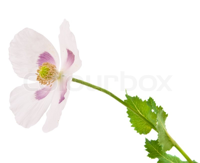 White poppy flower isolated stock photo colourbox mightylinksfo