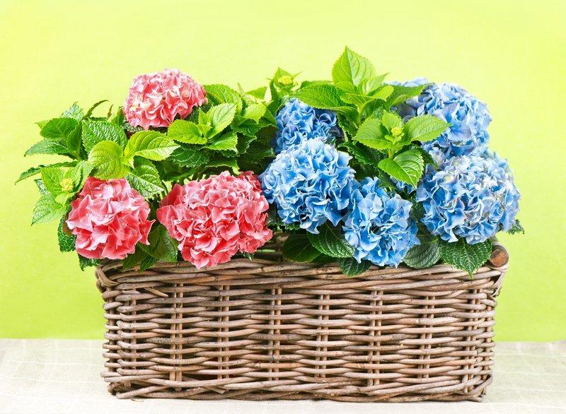 sch ne rosa und blaue hortensien pflanzen stockfoto. Black Bedroom Furniture Sets. Home Design Ideas