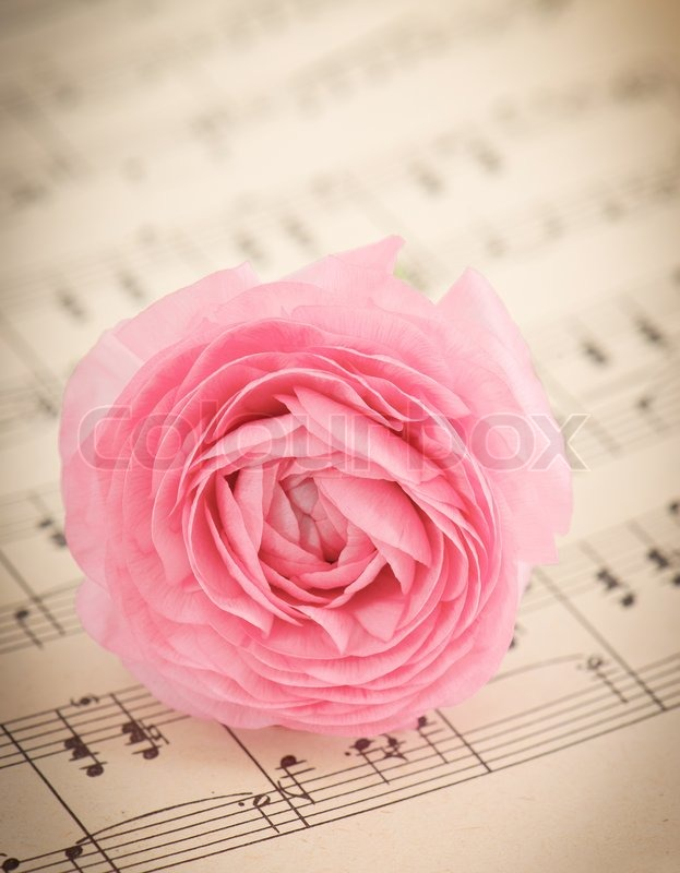 soft pink ranunculus flowers over book page stock photo
