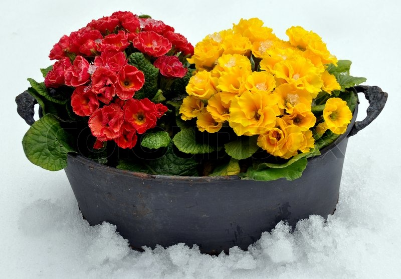 Spring flowers in snow stock photo colourbox mightylinksfo