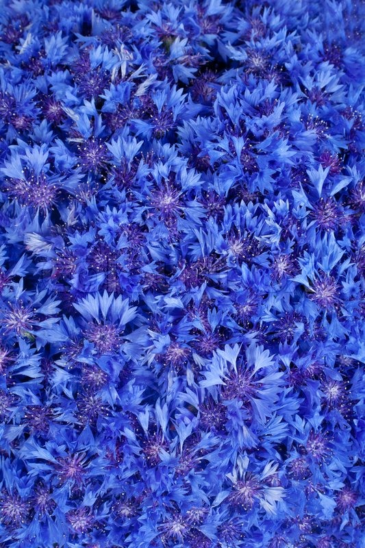 Beautiful Spring Pictures beautiful spring flowers blue cornflower on background | stock