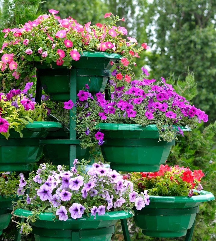 & Petunia flowers in pots outdoors   Stock image   Colourbox