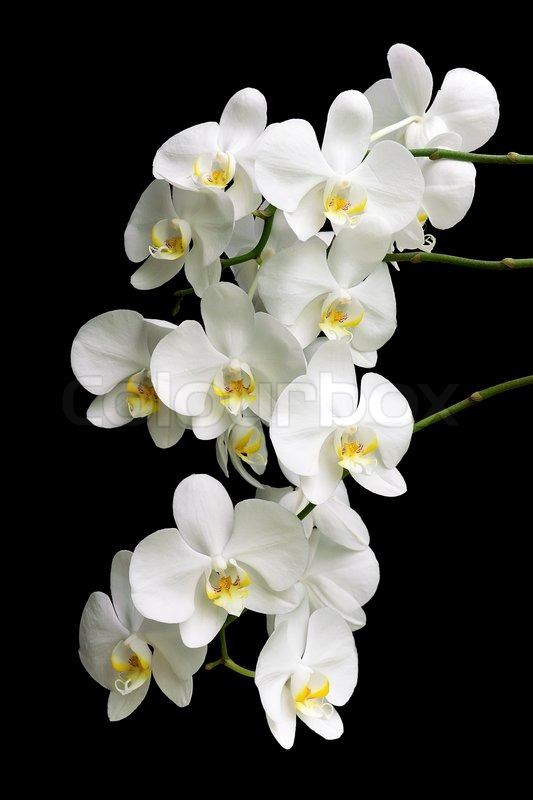 white orchid on a black background stock photo colourbox. Black Bedroom Furniture Sets. Home Design Ideas
