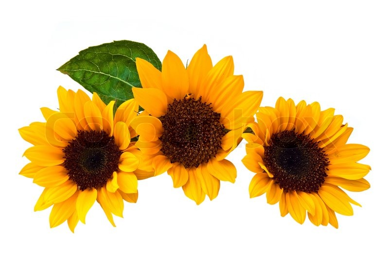 Sunflowers isolated on a white Stock image