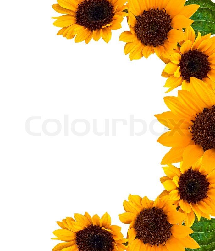 Frame of sunflower | Stock Photo | Colourbox
