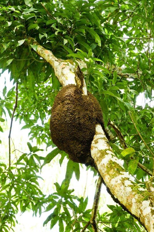 Termite Nest in einem Baum   Stockfoto   Colourbox