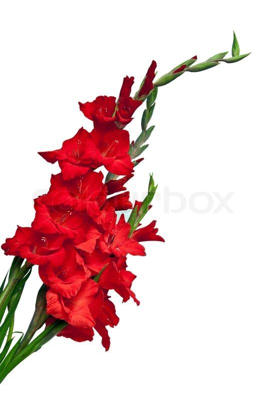 Gladiolus flower isolated on white background stock photo colourbox mightylinksfo