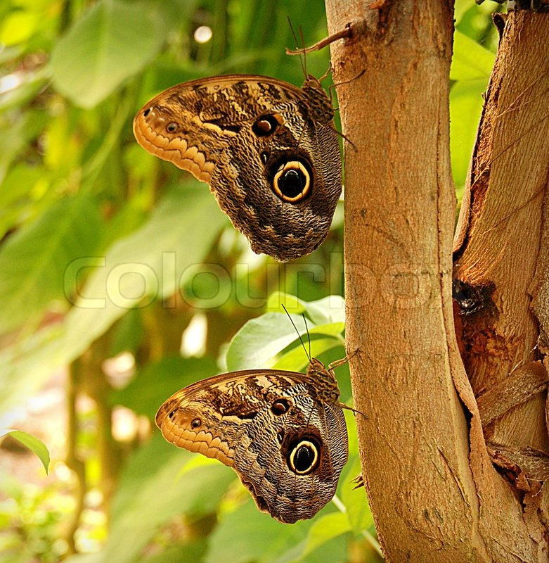 Owl butterfly life cycle - photo#27