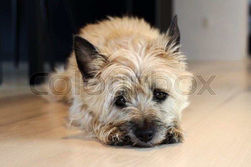 Lille sød cairn terrier ligger på ... | Stock foto | Colourbox