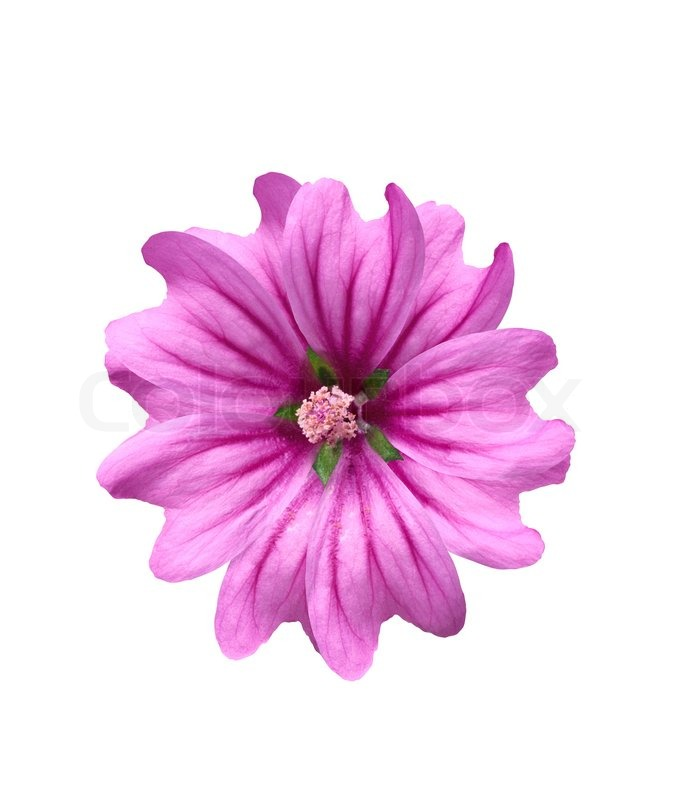 Beautiful pink flower isolated on white background stock photo beautiful pink flower isolated on white background stock photo colourbox mightylinksfo