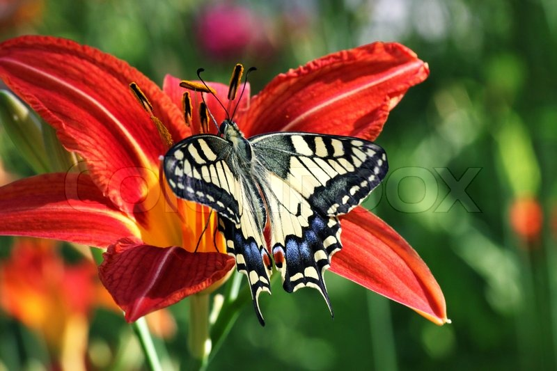 butterfly papilio machaon on flower lily
