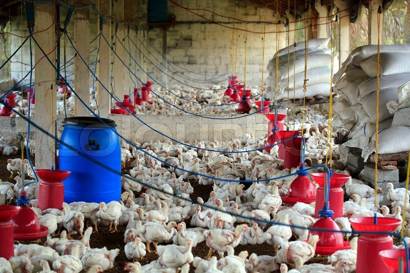 Poultry farm with many domesticated henfowl being grown for their