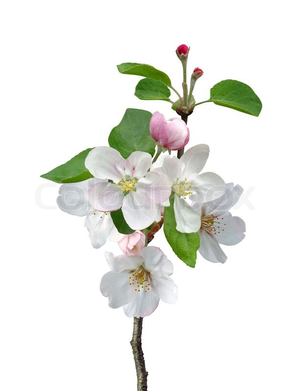 http://www.colourbox.com/preview/4289253-472848-white-apple-flowers-branch-isolated-on-white-background.jpg