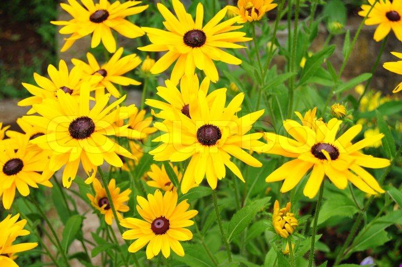 Beautiful yellow garden flowers Stock Photo Colourbox