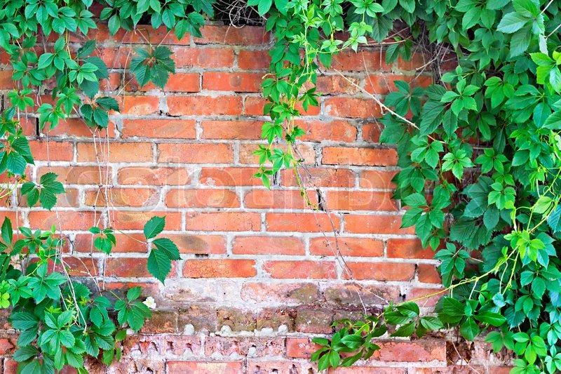 Mauer Mit Efeu Bewachsen