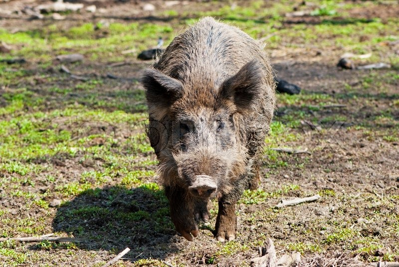 Stock image of 'European wild boar'