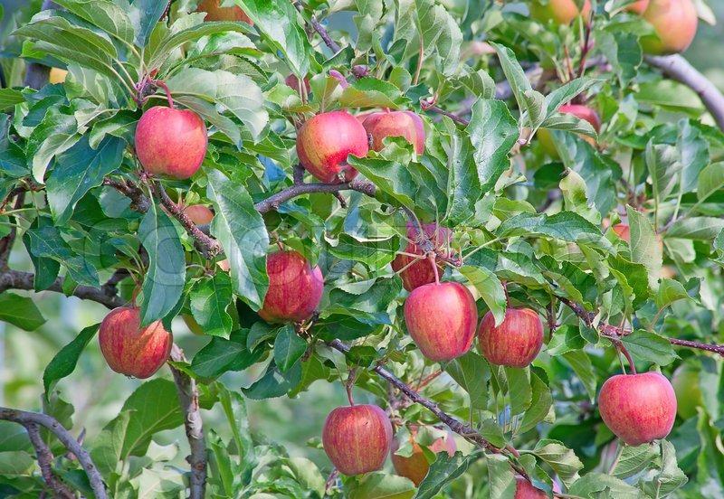 Apple garden | Stock Photo | Colourbox