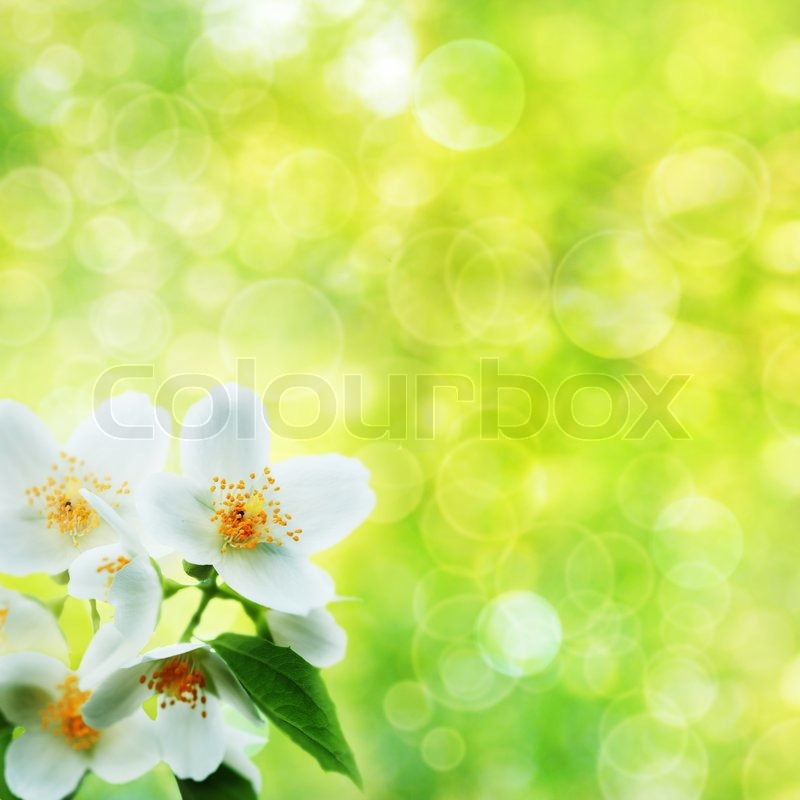 Jasmine Flower Over Natural Abstract Backgrounds