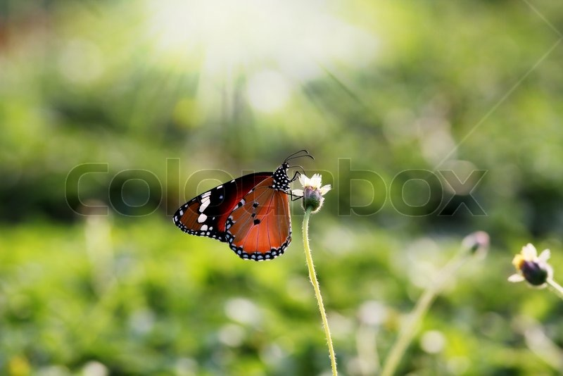Monarch Butterfly Proboscis