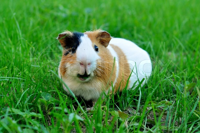 how to clear up ringworms on a guinea pig