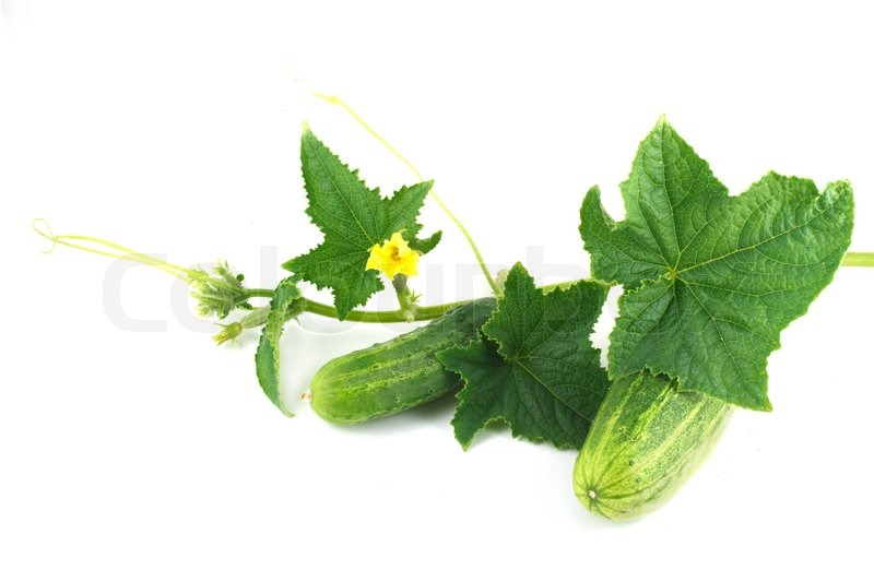 Two fresh cucumber with flowers and leaves | Stock Photo | Colourbox