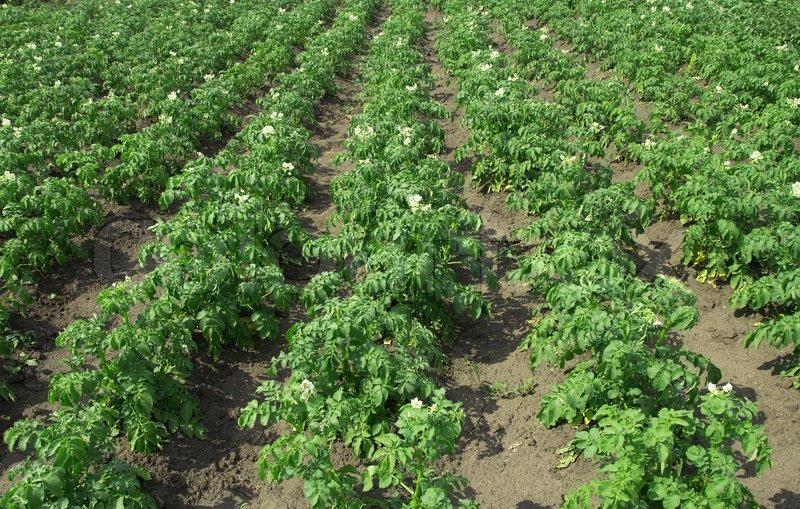 Potato plants in rows on potato field in summer | Stock ...