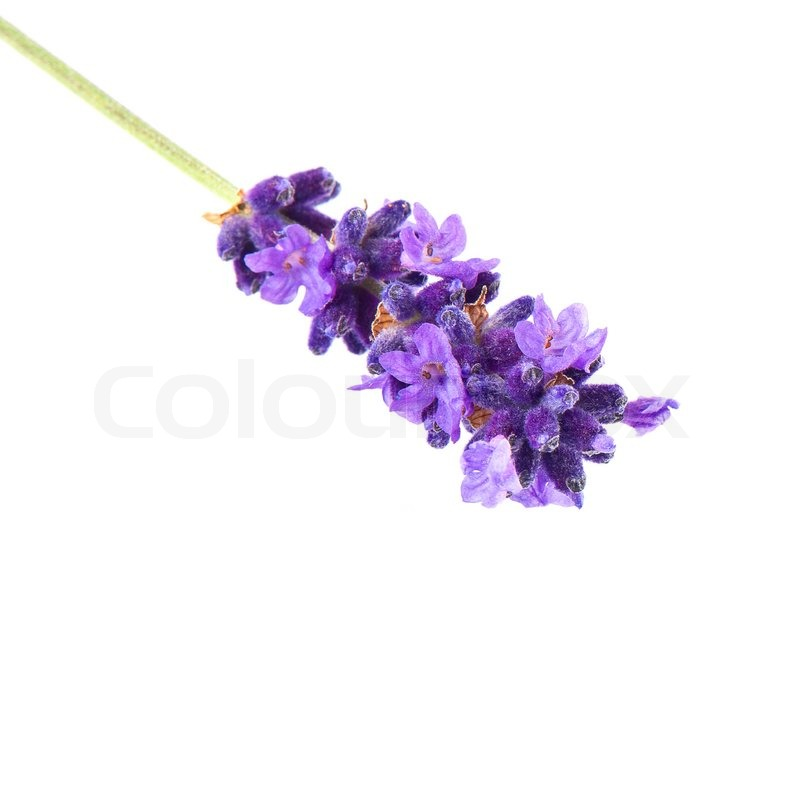Purple Flower Clipart No Background: Closeup Of Lavender Flower Isolated On White Background