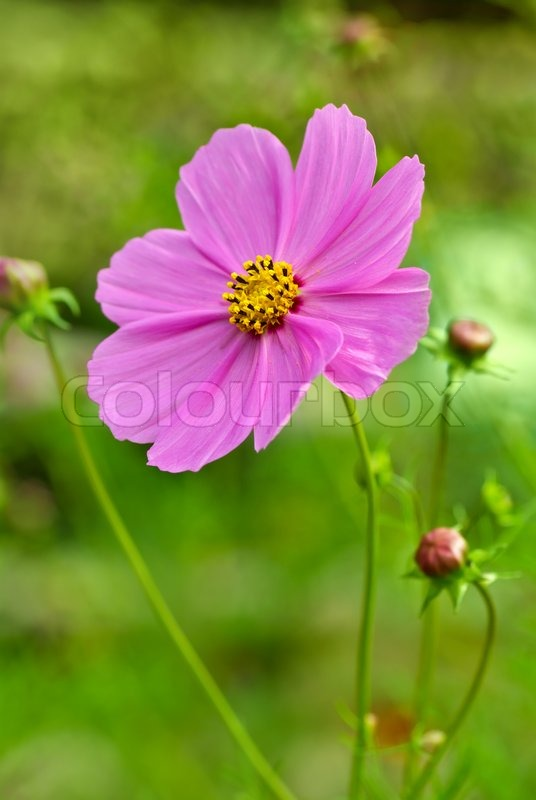 Pink cosmea cosmos flower stock photo colourbox pink cosmea cosmos flower stock photo mightylinksfo Image collections