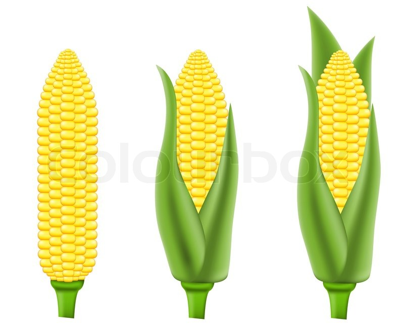 Corn vector illustration   Stock Vector   Colourbox