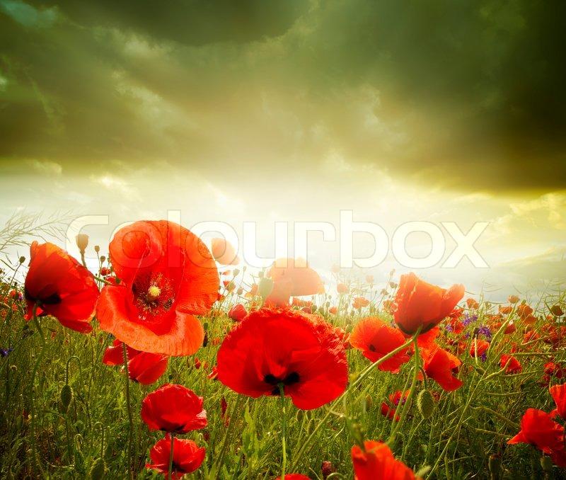 Poppy flowers stock photo colourbox poppy flowers stock photo mightylinksfo