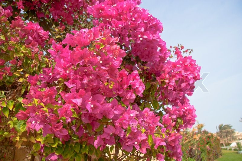 Pink Flowers On The Bush At Summer Day