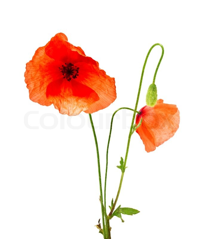 Picturepoppy Flower on Poppy Flowers On A White Background Stock Photo