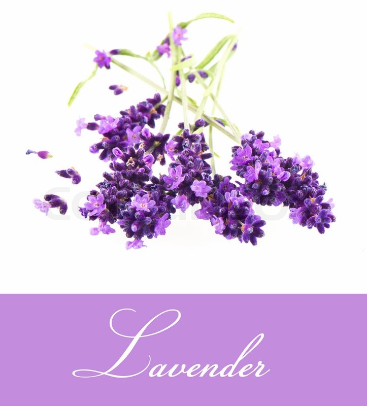 Lavender Flower Close Up Stock image of  closeup ofLavender Flower Close Up