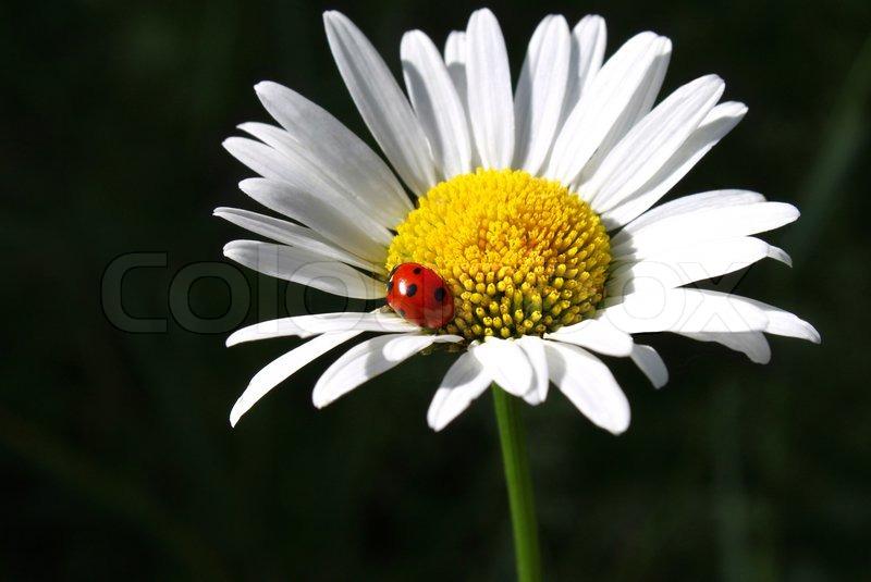 Camomile flower with ladybug | Stock Photo | Colourbox
