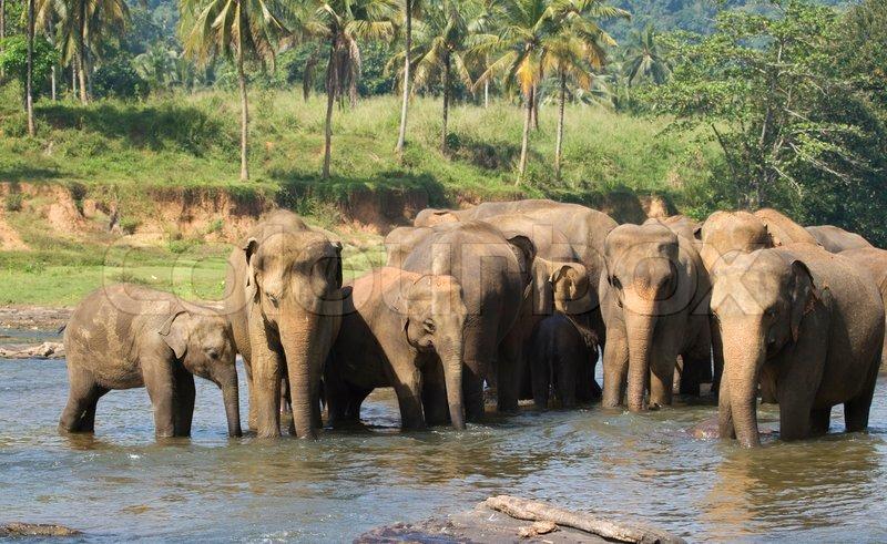 Herde von asiatischen Elefanten   Stockfoto   Colourbox