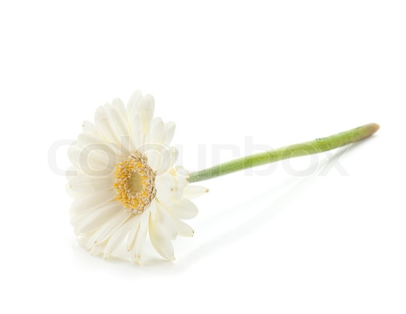 Lying white gerbera flower stock photo colourbox mightylinksfo