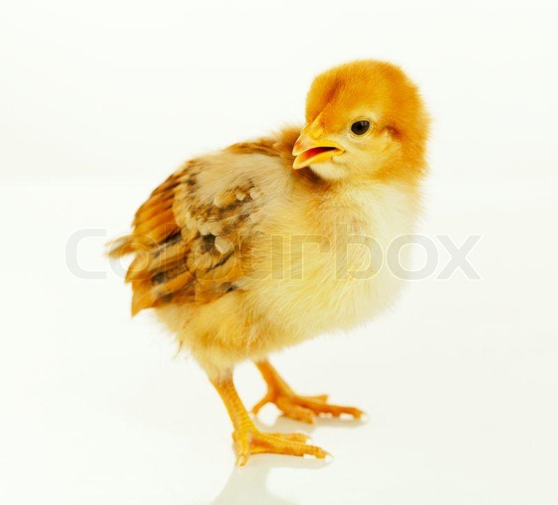 Small Baby Chicken Stock Photo Colourbox