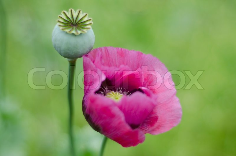 Pink poppy flower and seed head stock photo colourbox mightylinksfo