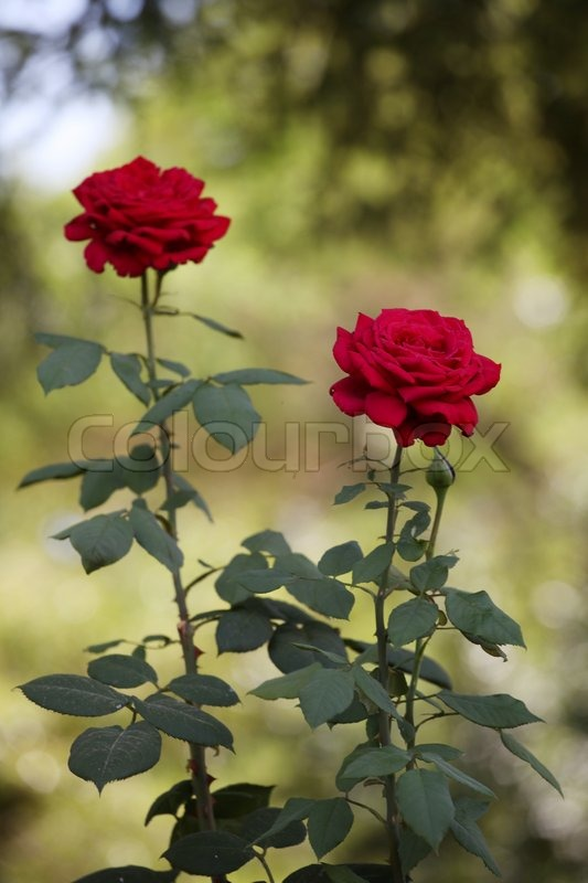 Two Long Stemmed Roses In The Garden Stock Photo Colourbox